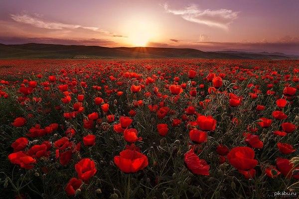 Таджикистан. Маковое поле. Закат вдохни полной грудью...  фото, красота, пейзаж, природа, Таджикистан, мак, маковое поле