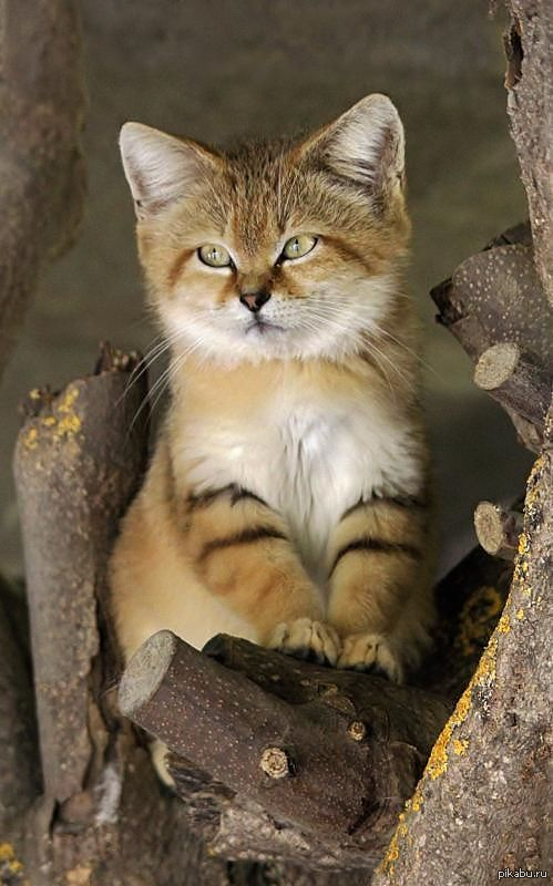Пустынный или барханный кот симпатичная мордашка)))  кот, дикие животные