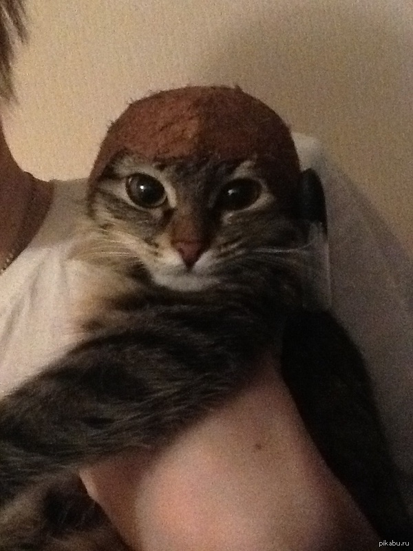 Сделал коту шлем из кокоса ! кот оценил) Кот, шлем, веселье, хэндмейд, криворукость