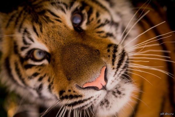 ����,  tiger   ����, tiger